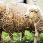 Imagem de aplicação da tela hexagoanl para criação de ovinos