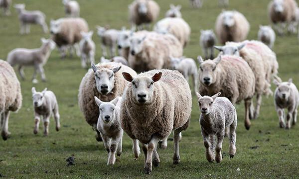 Como ter sucesso na criação de ovinos