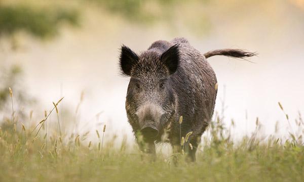 Predador de Ovinos