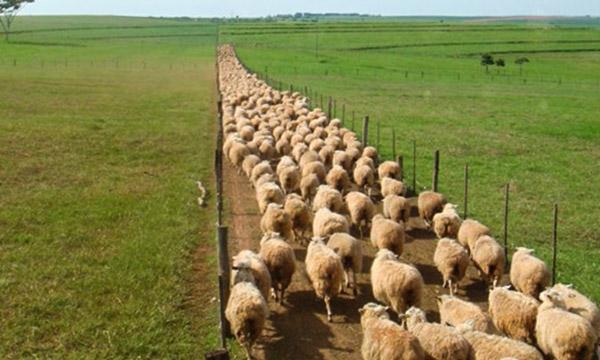 matrizes de ovinos